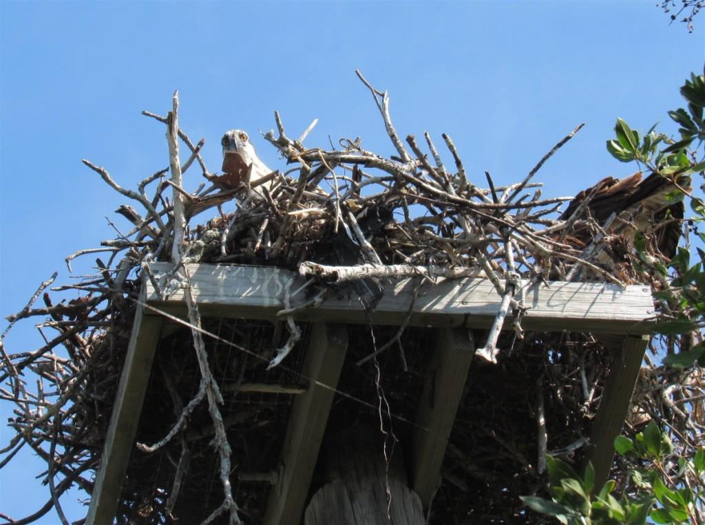 14 osprey nest